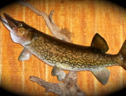 Jack Fish 002