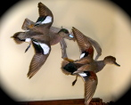 Gadwall & Widgeon 4