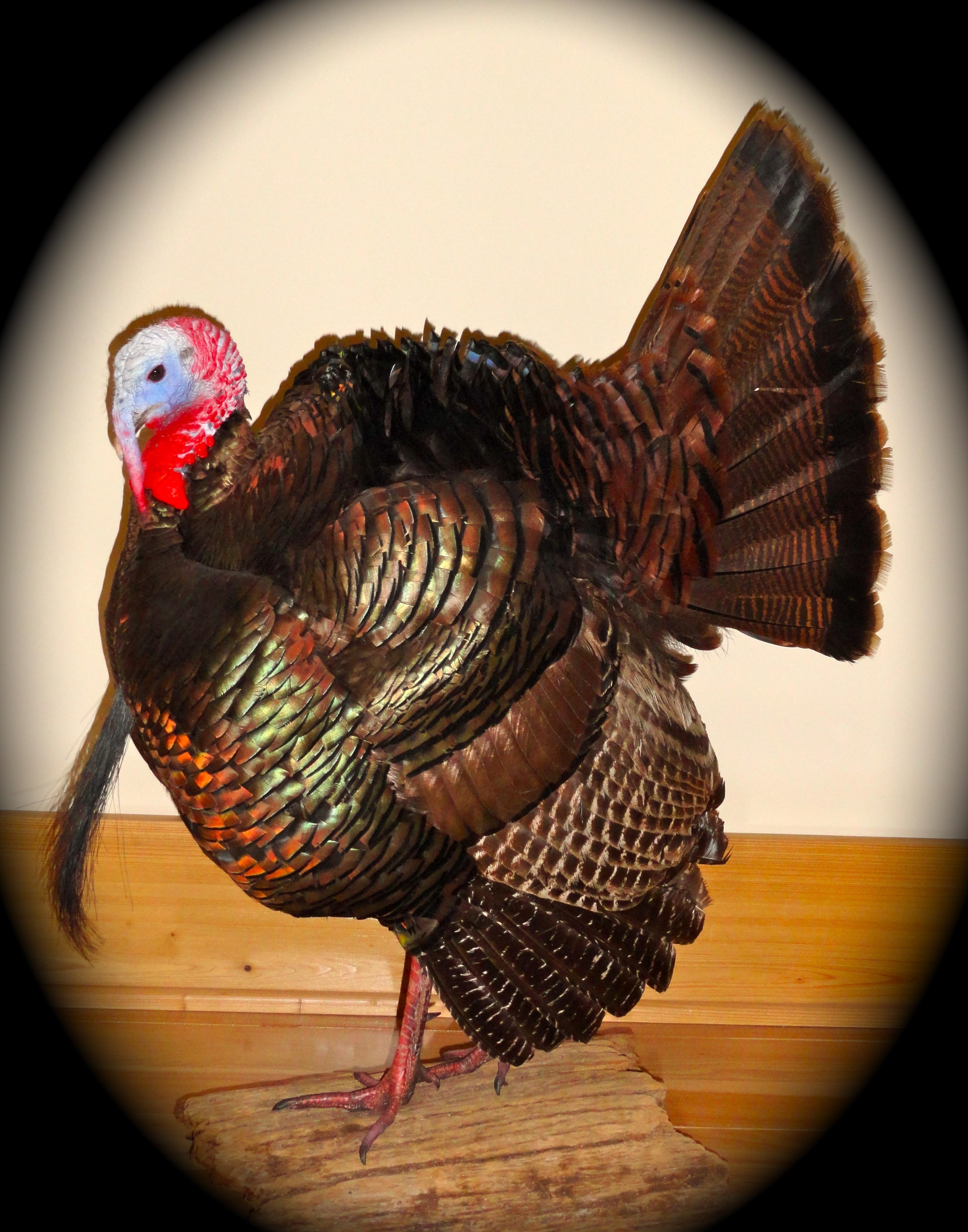 Eastern Wild Turkey 5