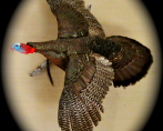 Eastern Wild Turkey 3