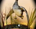 Gadwall, jumping with habitat
