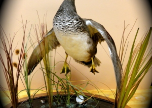 Gadwall, jumping with habitat