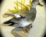 Gadwall, standing on driftwood with habitat