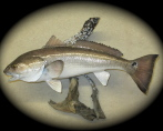 Redfish 001