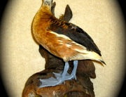 Tree Duck 6