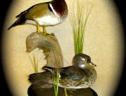 Wood Duck Pair 001