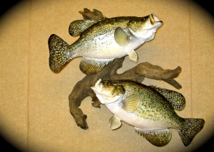 Speckle Perch 001